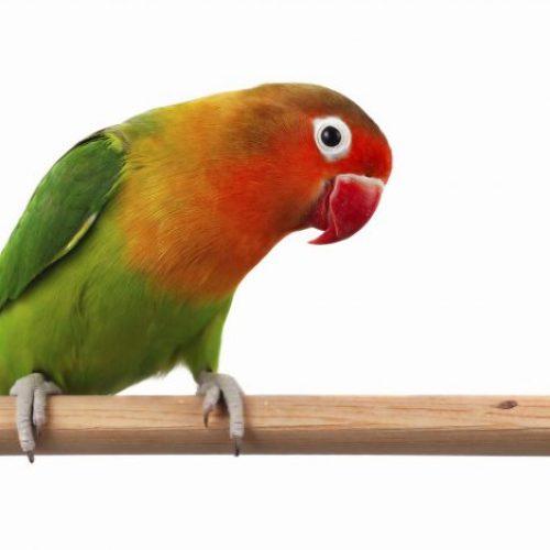 Agapornis vogels kromsnavel