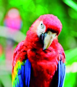 ara papegaai kromsnavel