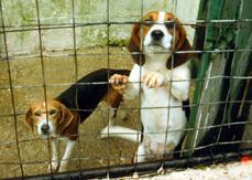 proefdier beagles