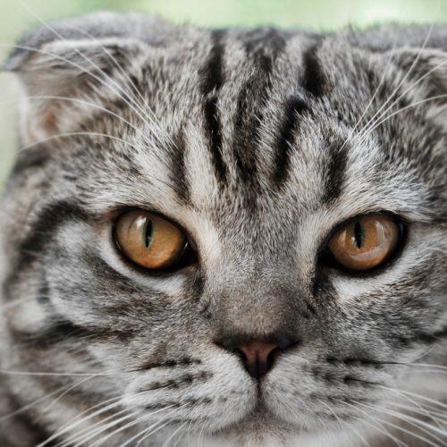 verbied vouwoorkatten