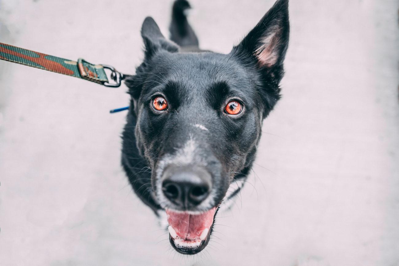 stroomband verboden bang voor honden