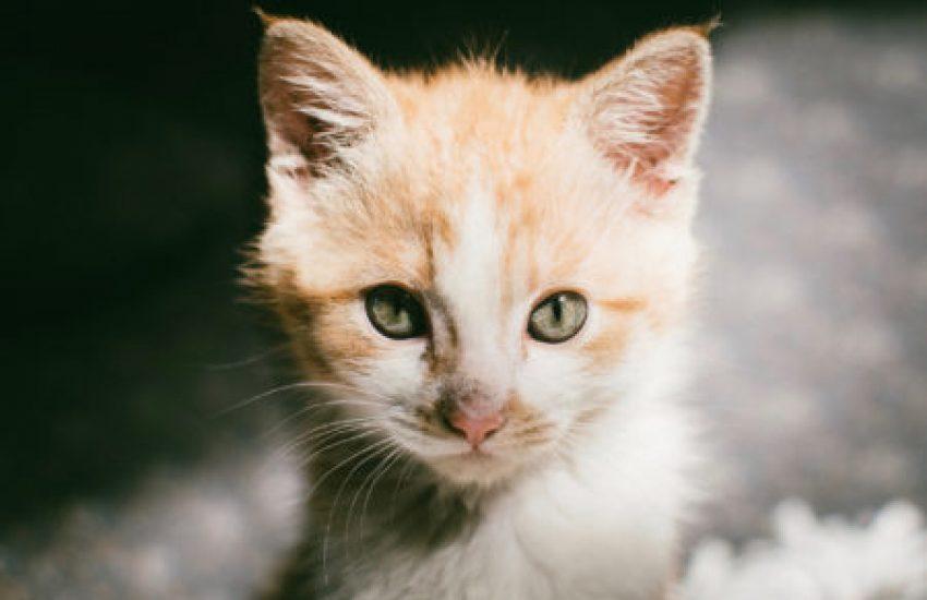 kat kitten