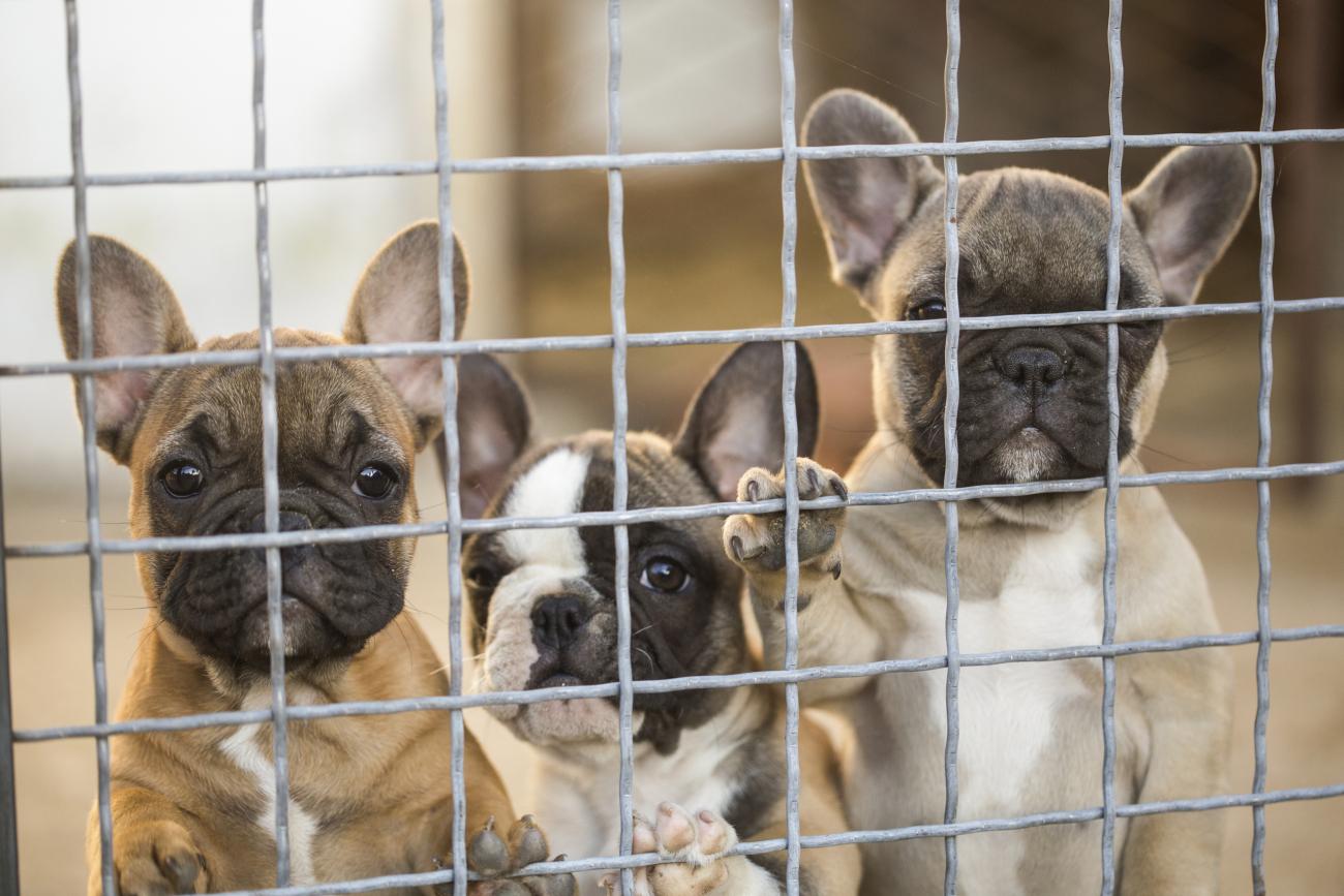 ras doorgefokt import hond