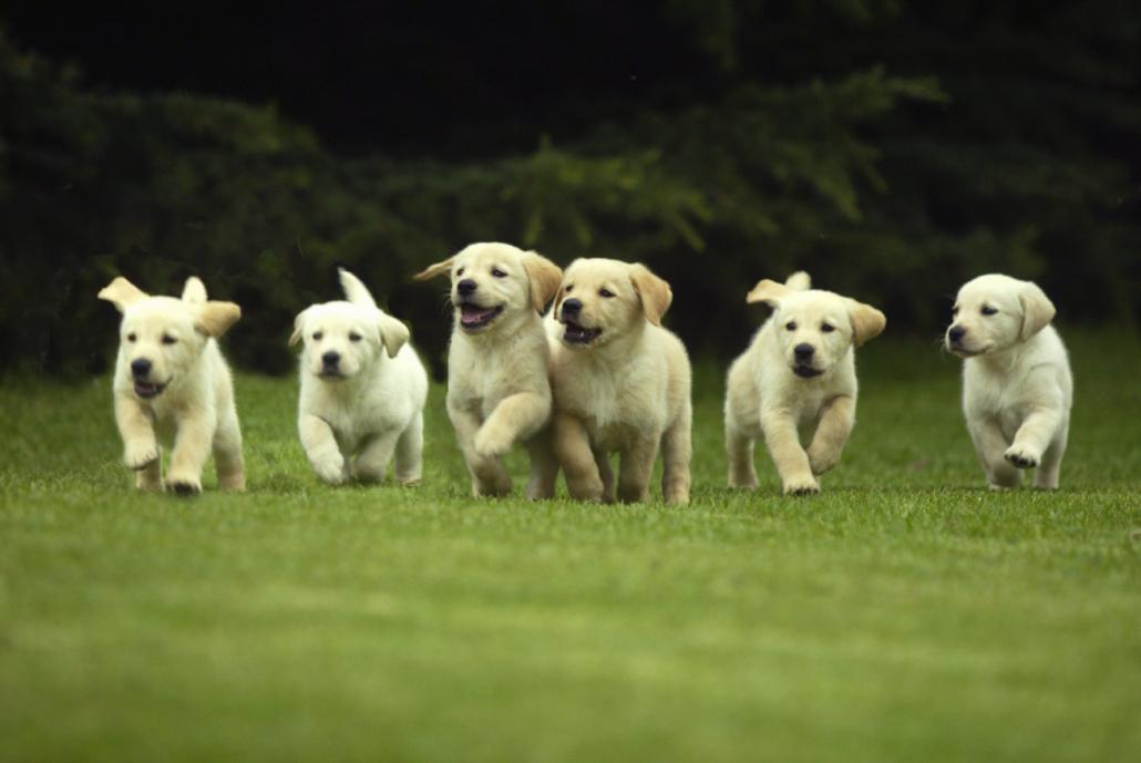 hond fokken pups zomer