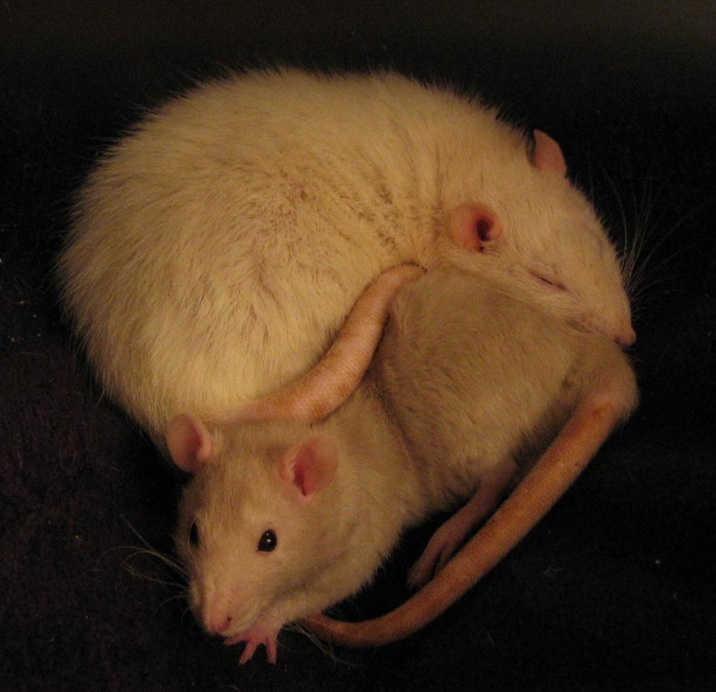 ratten sociaal