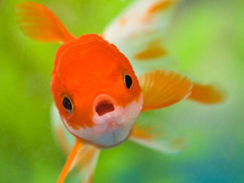 goudvis kweken