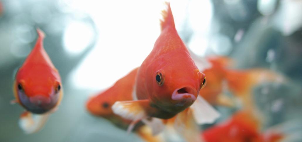 goudvis vissen
