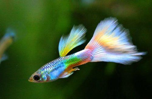 vissen guppy