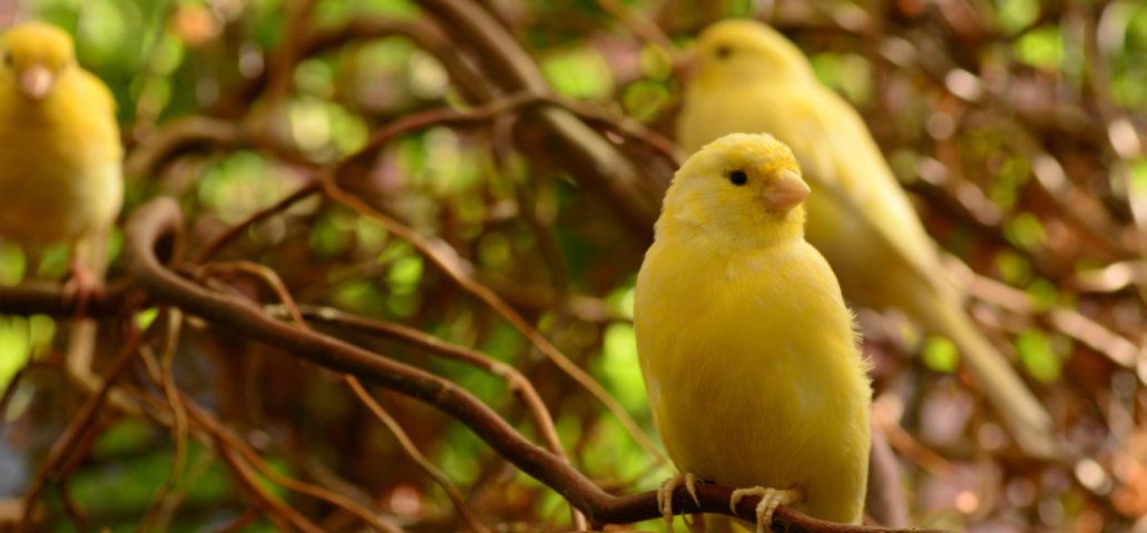 kanarie sociaal veel gehouden vogels