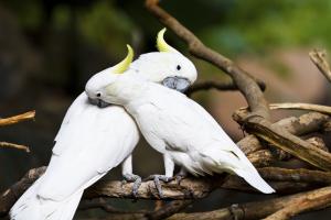 kaketoe vogels sociaal uitgelicht