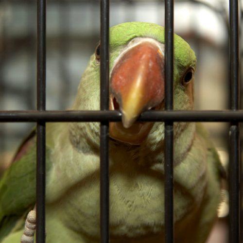 amazone vogel alleen in kooi