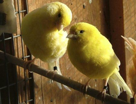 kanarie sociaal vogels