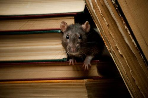 rat gedrag