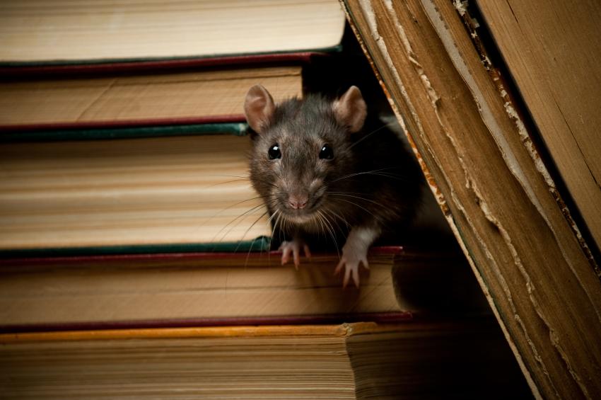 ratten zijn slimme dieren
