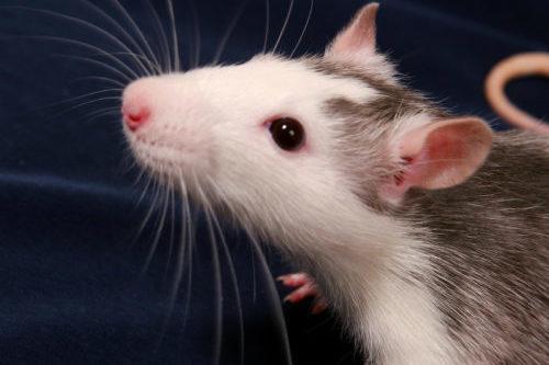 rat aanschaf