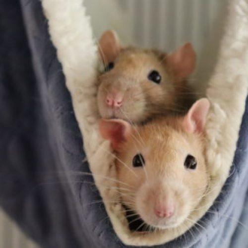 rat sociaal