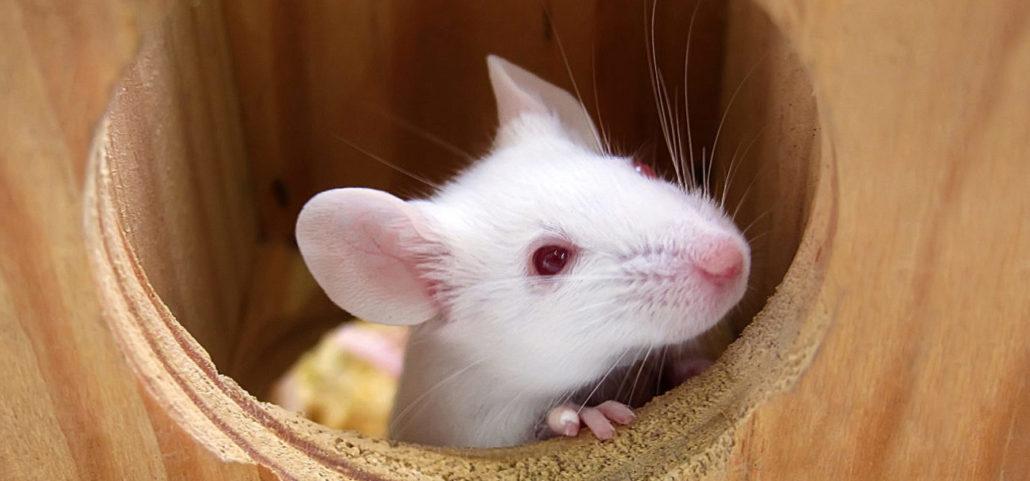 muis muizen