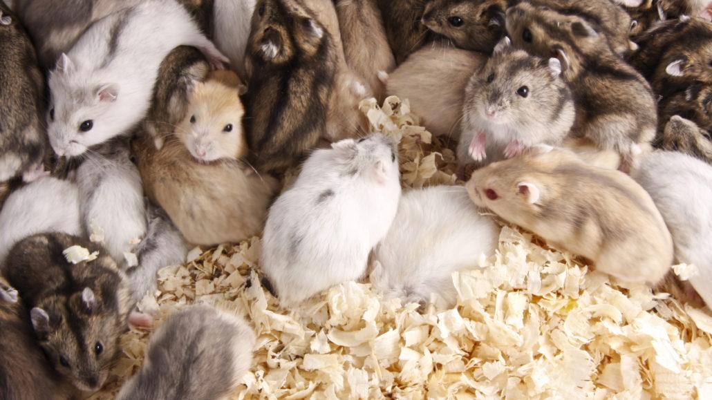 hamster aanschaf