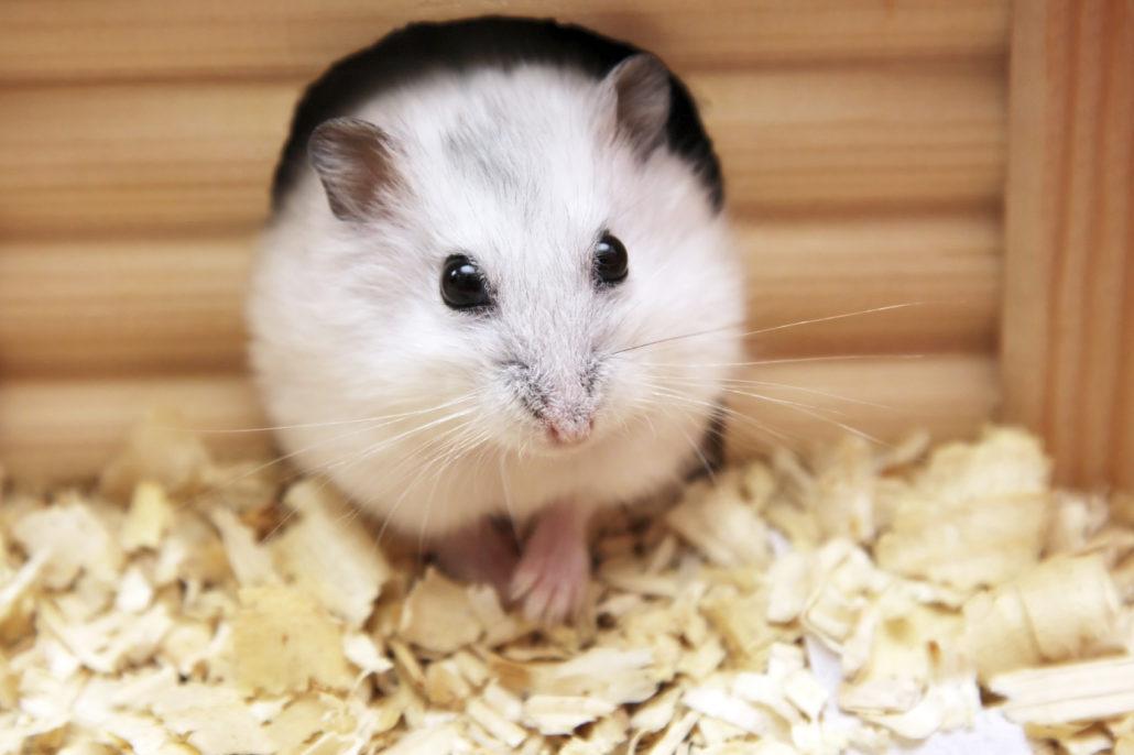 hamster gedrag