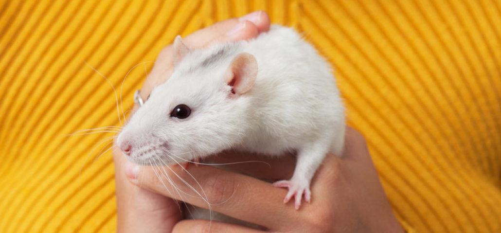 rat ratten