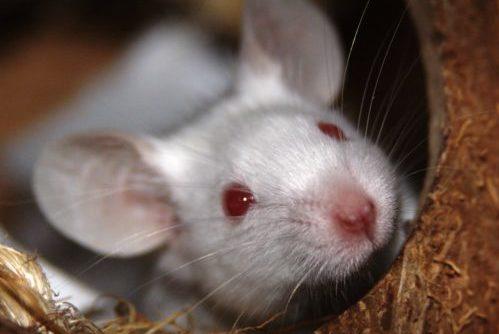 muizen kopen