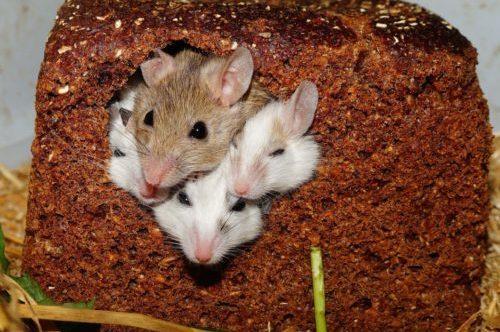 muizen verzorging