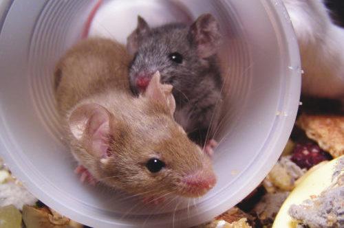 muizen gedrag