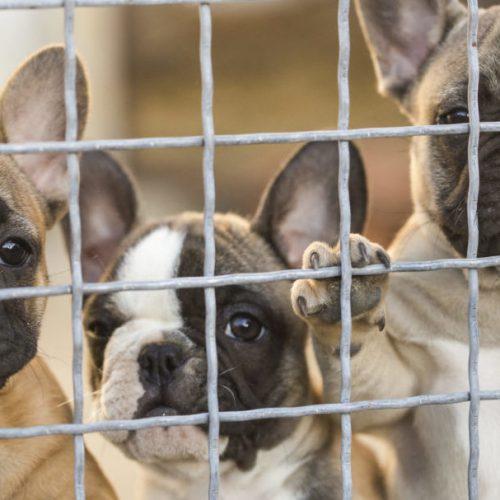 importverbod doorgefokte rashonden