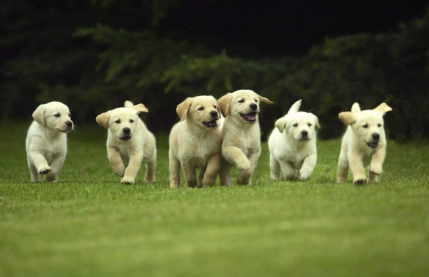 Hondenfokkers Panel